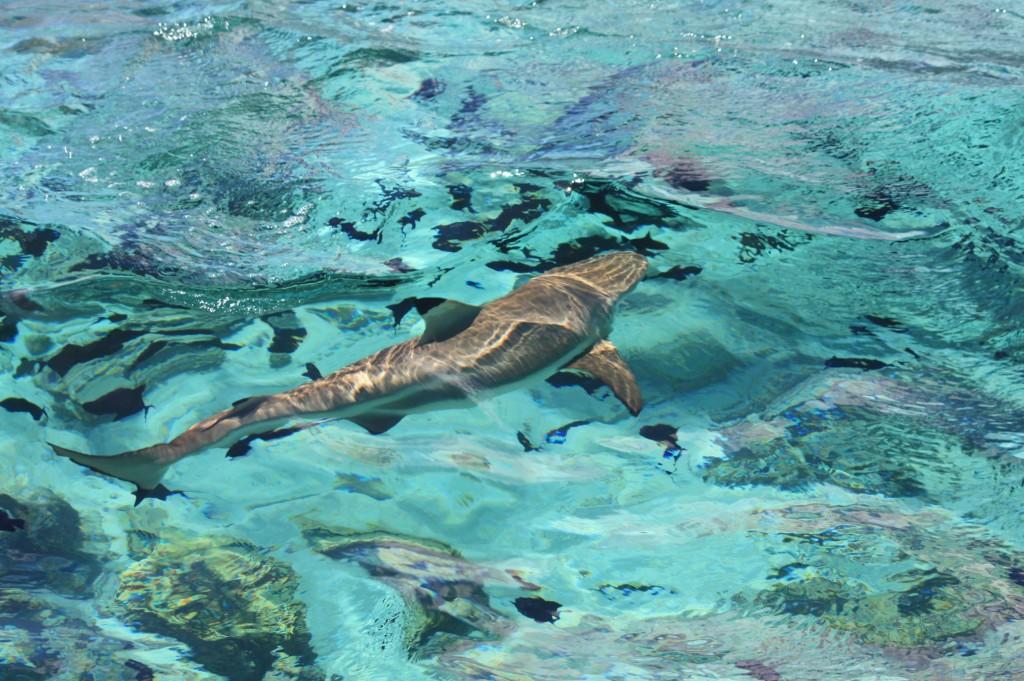 cronicas viajeras moorea tiburon 1