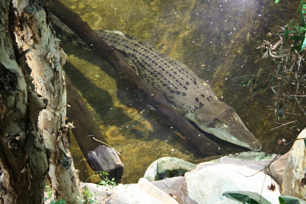 sydney acuario cocodrilo