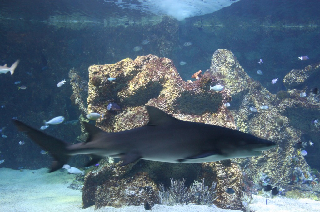 sydney acuario tiburon