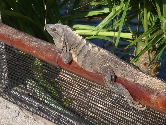 Iguana puerto aventuras
