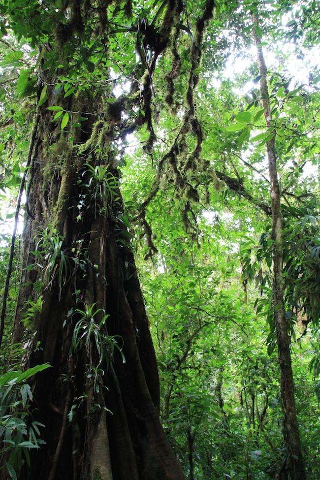bosquenubosomonteverde_arboles