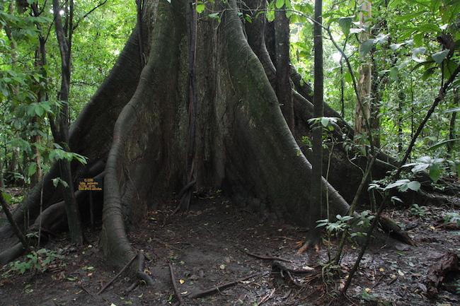 Un ceibo de 400 años domina el Parque Nacional del Volcán Arenal