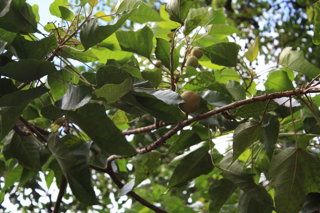 cronicas viajeras moorea nueces macadamia