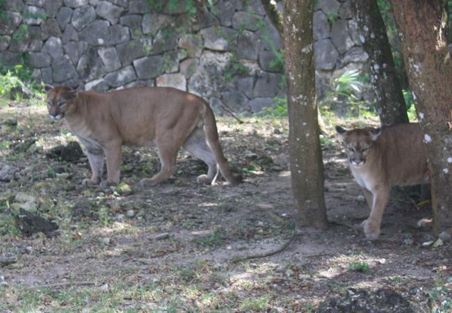 Jaguares en Xcaret