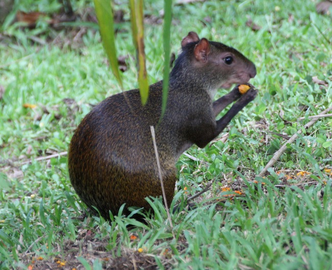 Guatuza, de la familia de las capibaras. Hasta hace poco no se consumían, pero ahora en Costa Rica hay quien las cría para comercializar su carne...