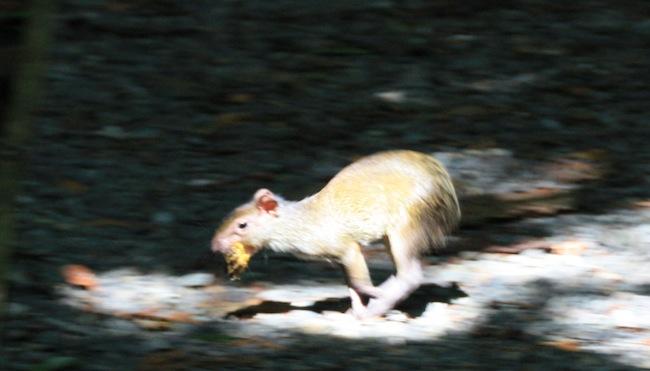 Una guatuza cruzó el sendero corriendo a  nuestro paso
