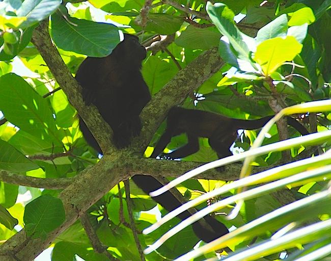 Una familia de monos entre los árboles: es interesante mantener un ojo en las alturas y fijarse en las ramas que se mueven...