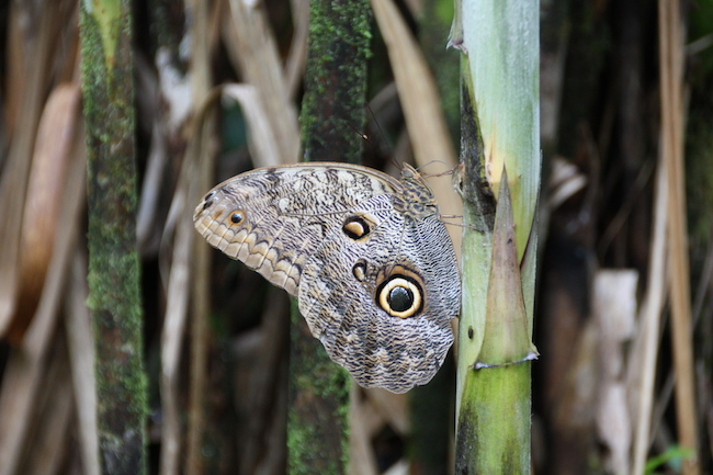 mariposas que quieren parecerse a pájaros...
