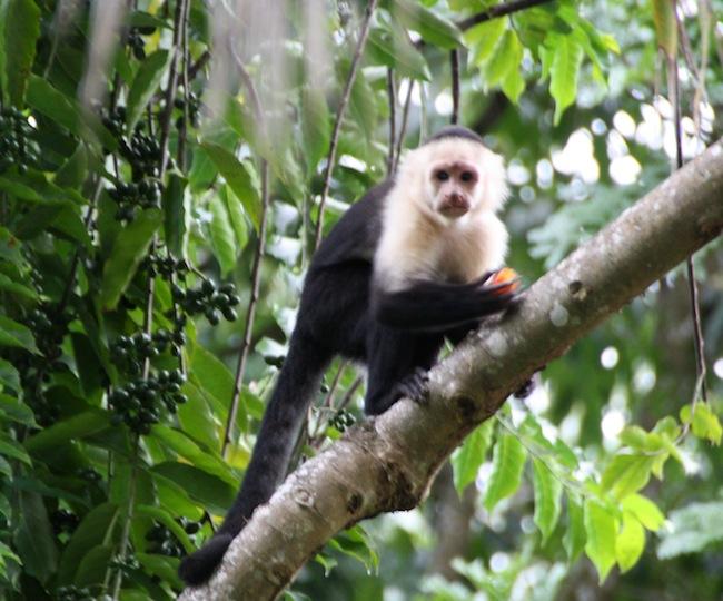 Mono cariblanco, o capuchino (cebus capucinus), el mono más inteligente de cuantos habitan en Costa Rica