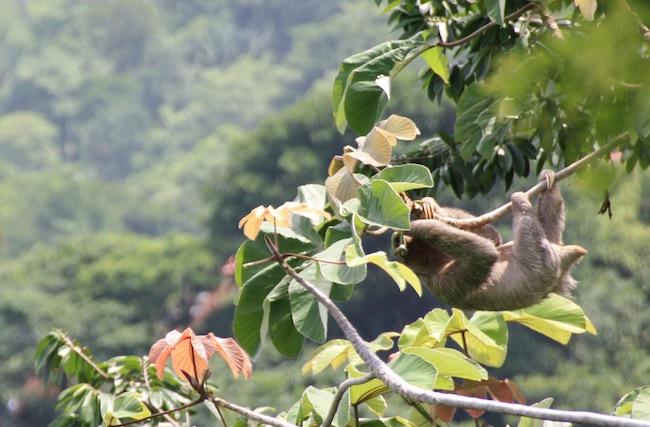 Un perezoso aparece desde la espesura buscando brotes tiernos al extremo de la rama...