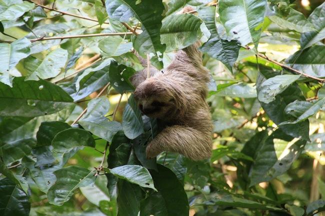 El perezoso es seguramente el animal que más nos gusta ver. Sus lentos y pausados movimientos entre las ramas dan para buenas fotos...