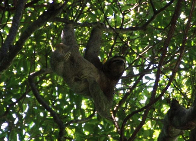 Perezoso en acrobática pose, quizás sorprendido por los curiosos humanos...