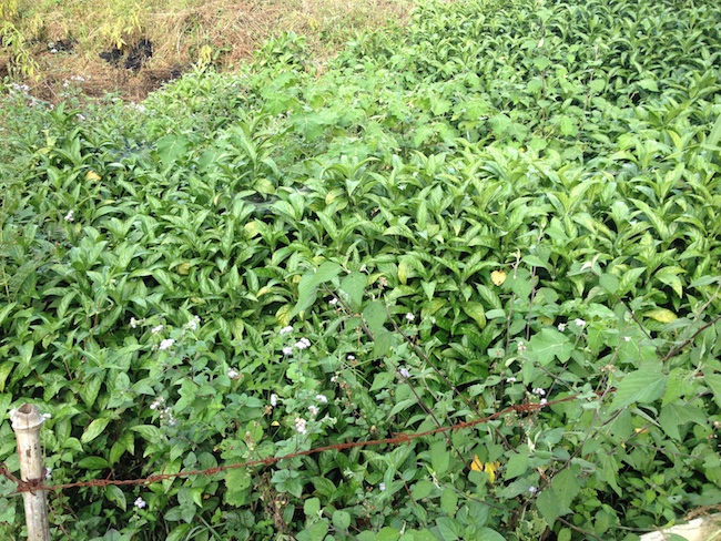 Esta es la planta de índigo azul o añil