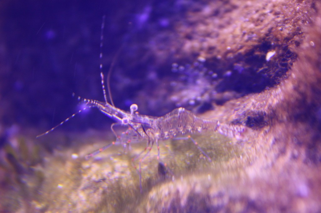 sydney acuario gamba