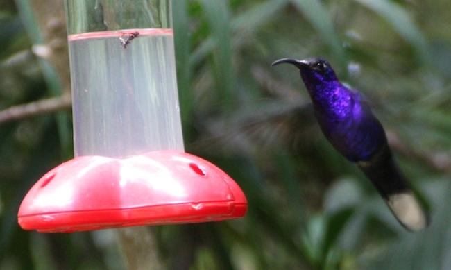 colibrí en Monteverde