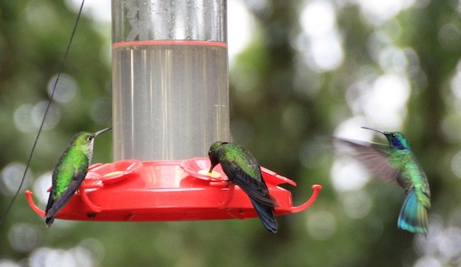 colibries_monteverde_2