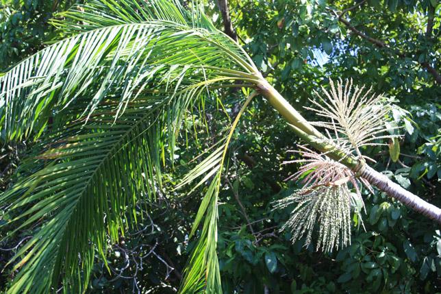 Frutos de burití entre manglares