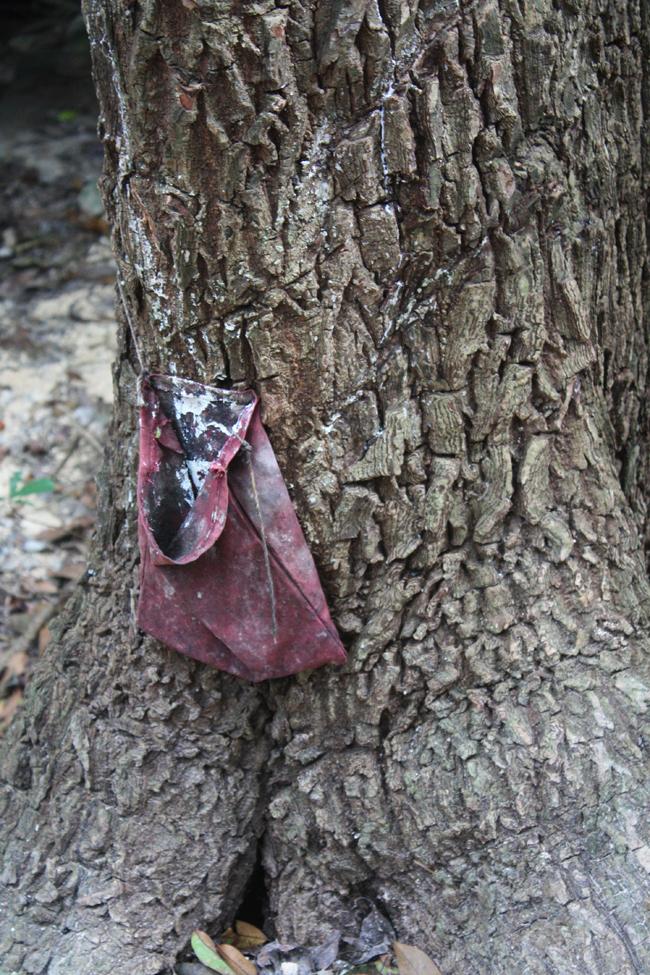 ¿Sabías que el chicle es un invento mexicano? ¿Y que los antiguos mayas masticaban la goma de este árbol de zapote para limpiar sus dientes? Cosas que se aprenden en Xcaret...