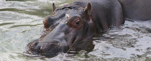 Hipopótamo en el Zoo de Barcelona, foto de www.zoobarcelona.cat