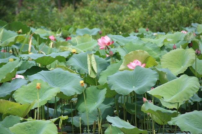 Flores de loto en el Río del Perfume