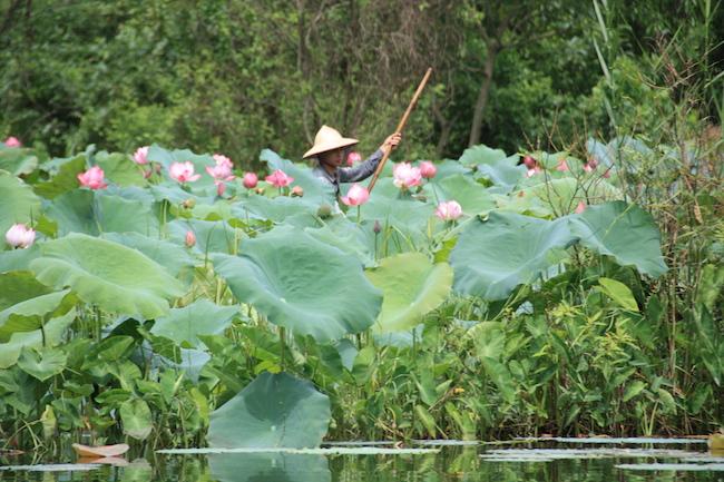 Hay quienes cultivan las flores para decoración o las semillas: con ellas se hace un postre buenísimo