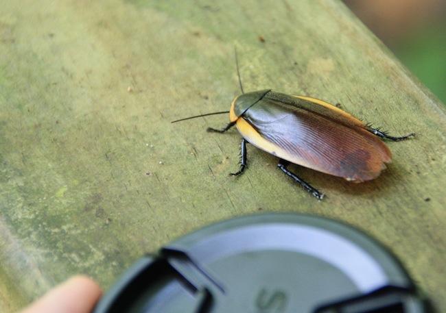 El porte de algunos insectos es impresionante: comparad esta cucaracha del Parque con la tapa del objetivo de mi cámara...