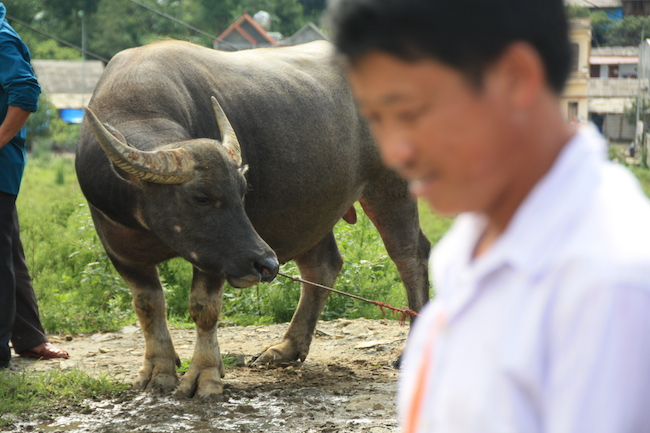 Búfalo de agua, muy útil en los arrozales...