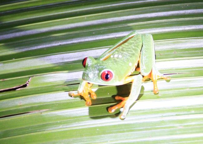 Rana verde de ojos rojos o Agalychnis callidryas