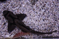sydney acuario tiburon gato